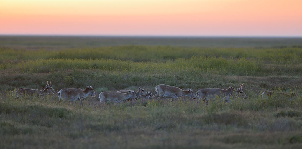 Сайгаки в заповеднике «Черные земли» © Фото Игоря Шпиленка, wikipedia.org