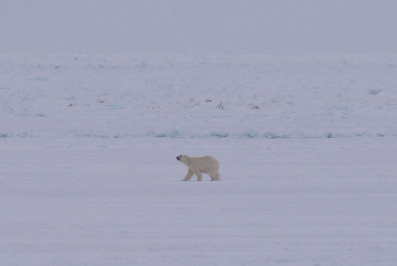 Белый медведь на о. Вайгач